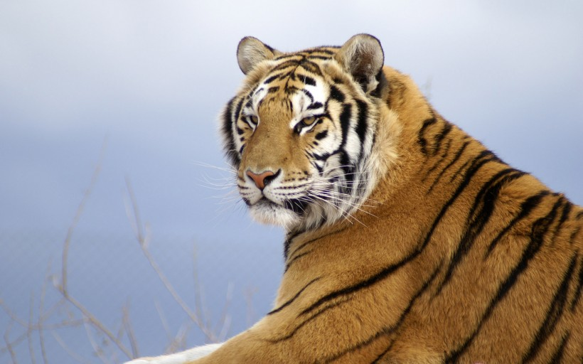老虎愤怒的素材
